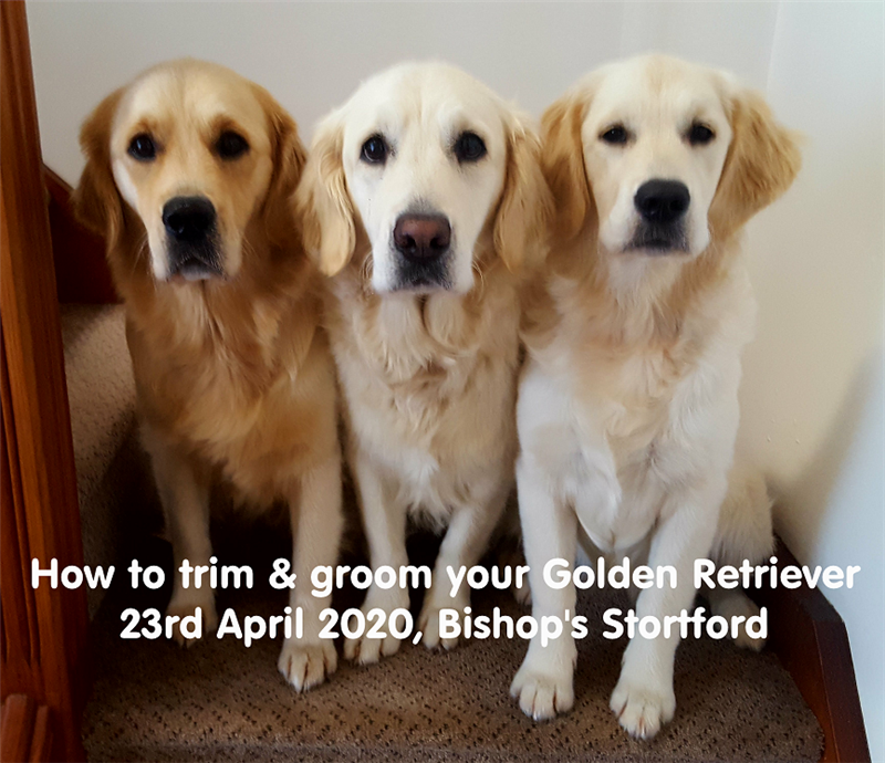 Get Information and buy tickets to How to trim & groom your Golden Retriever  on RLtickets