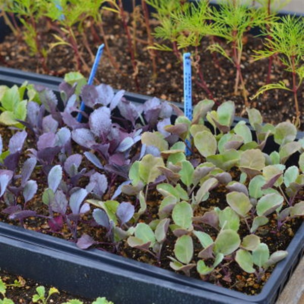Fabulous 8X11 Tray Of Vegetable Transplants Beutiful Home Inspiration Aditmahrainfo